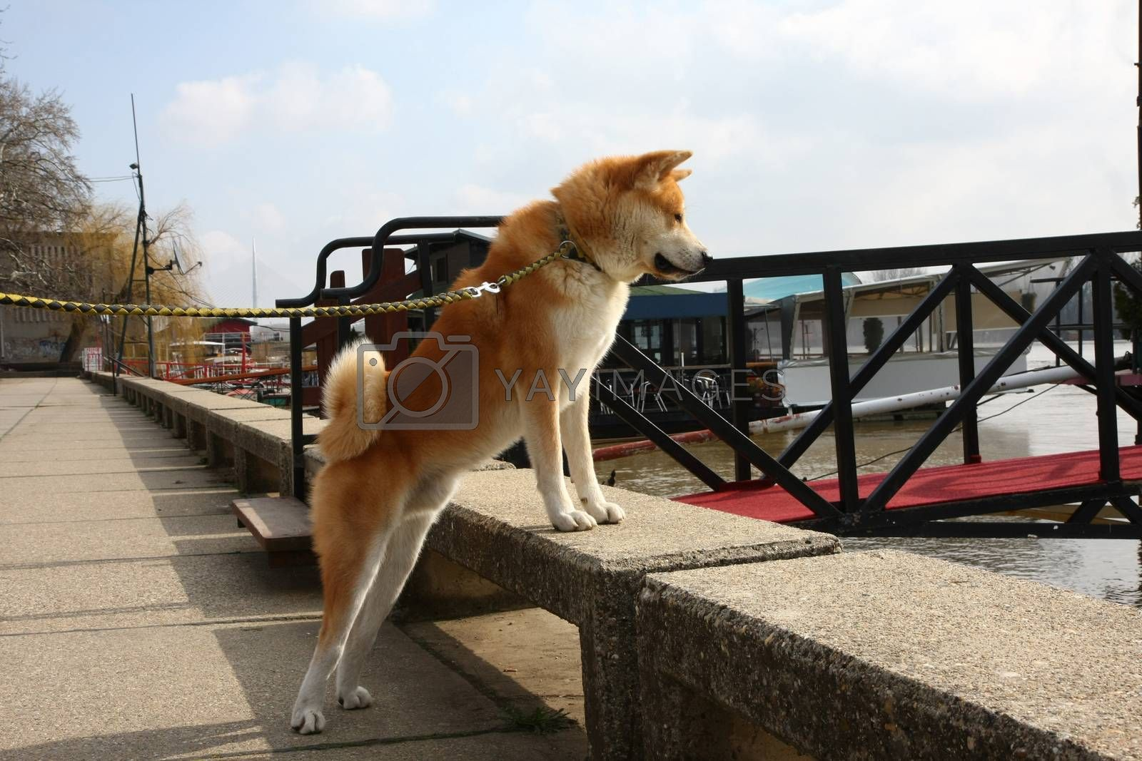 Akita Inu on the riverbank by tdjoric