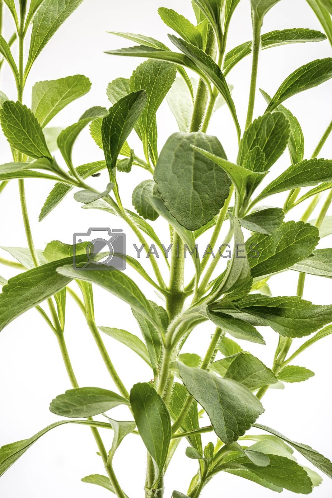 Stevia rebaudiana plant - alternative sweetener herb