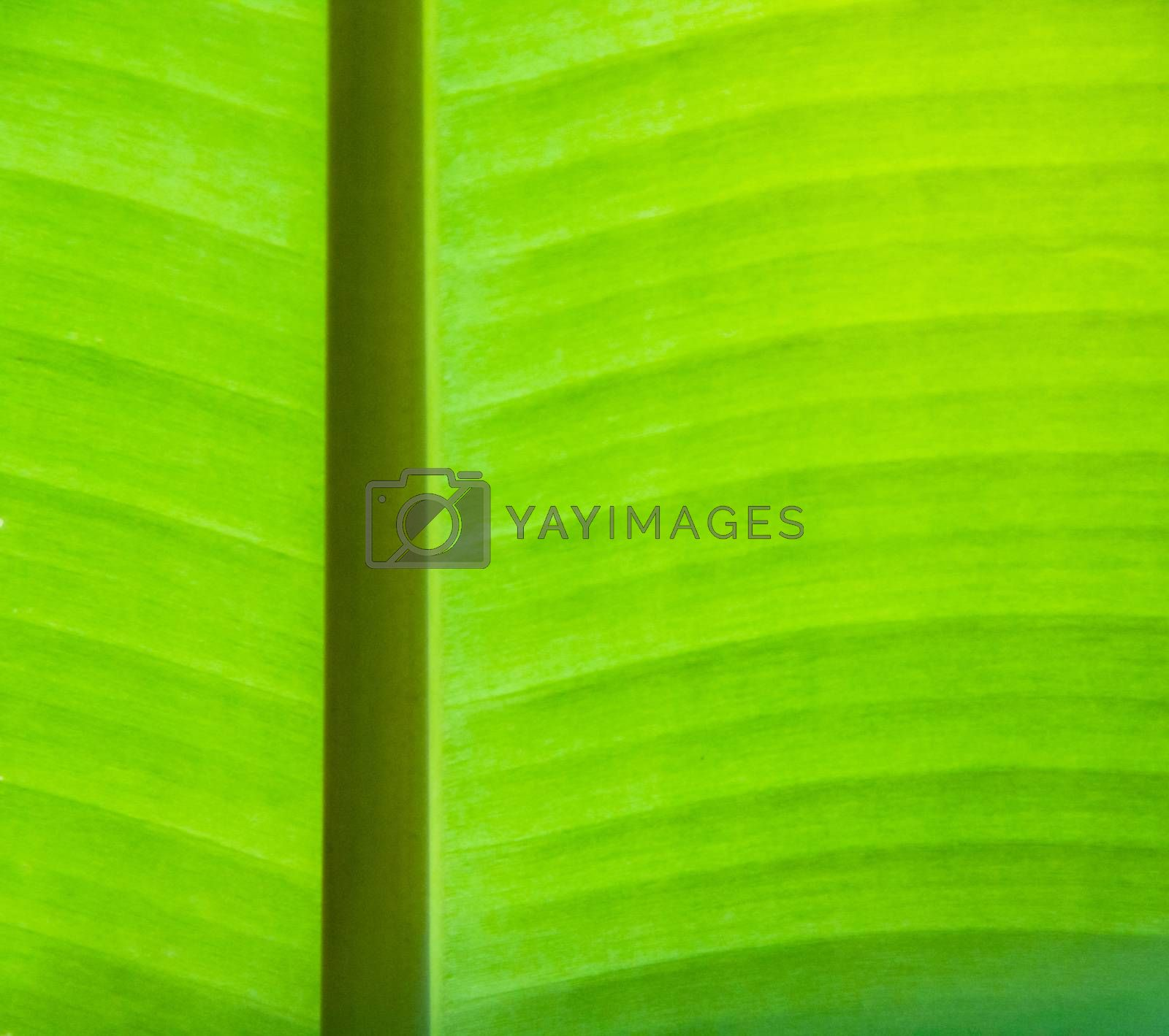 Banana leaf background by liewluck