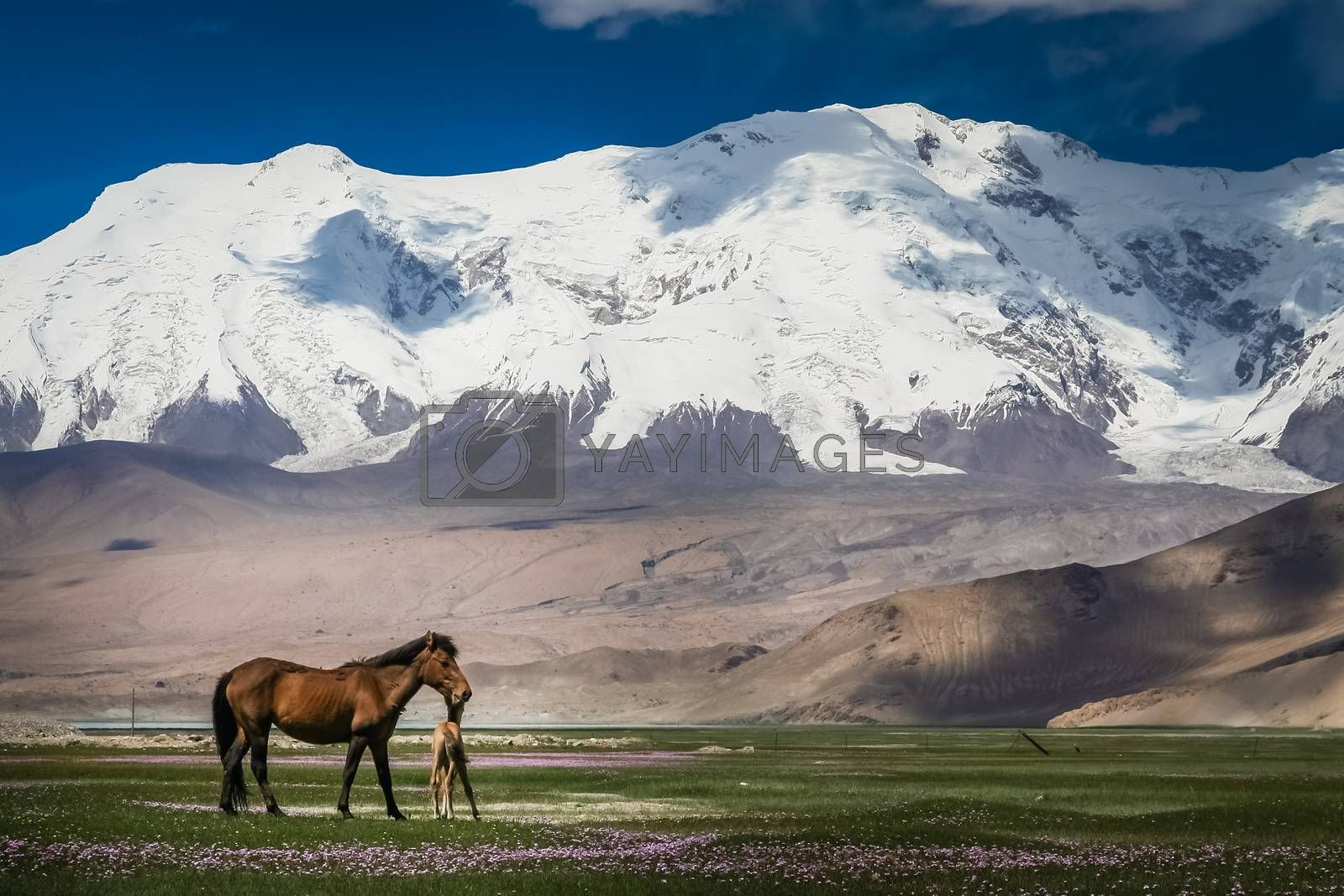 Mare and colt on a meadow in front of a snowcapped mountains in Karakorum, China