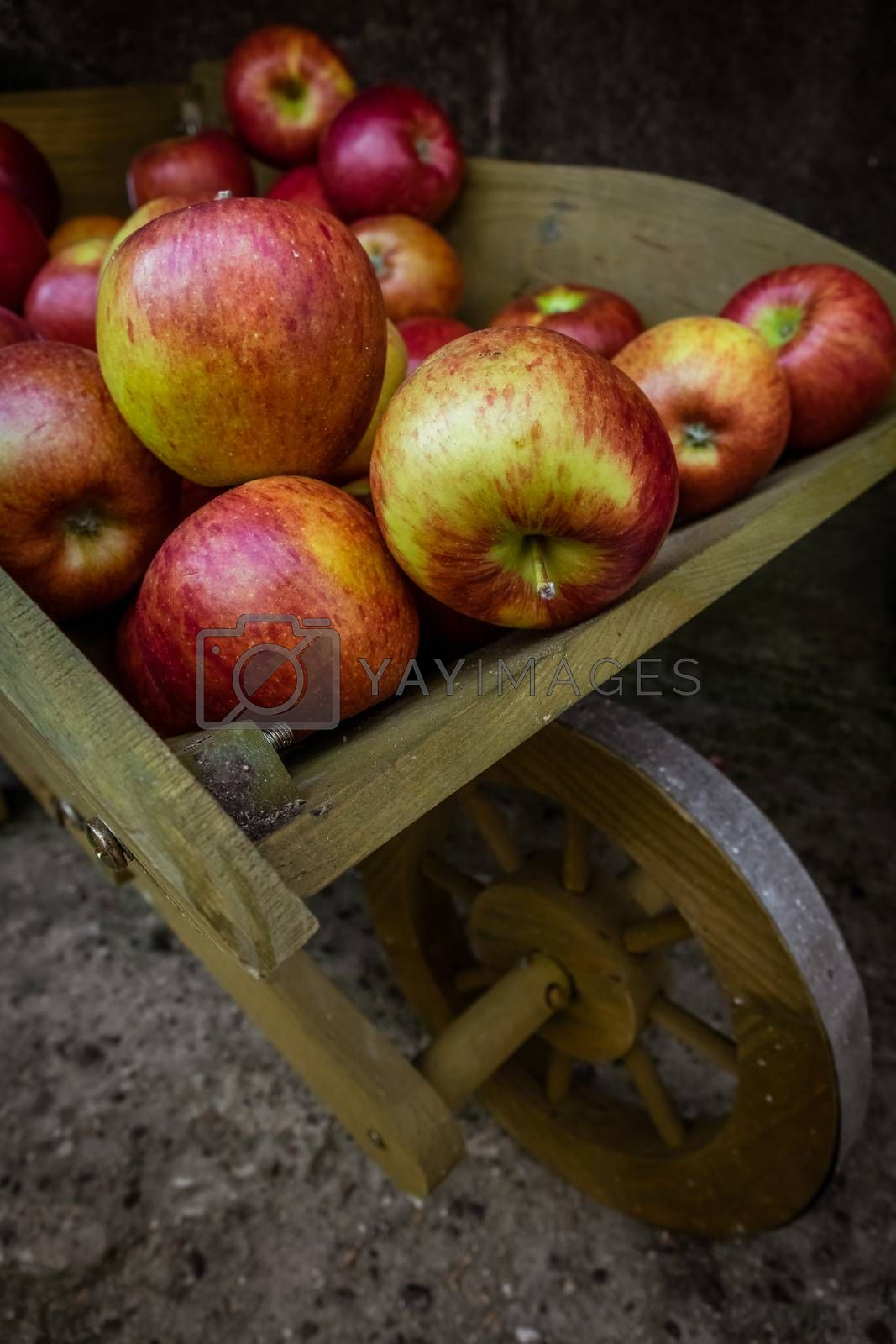 Fresh red yellow and green apples for sale stored in retro grunge wooden wheelbarrow in the market in a small Cornish town in England