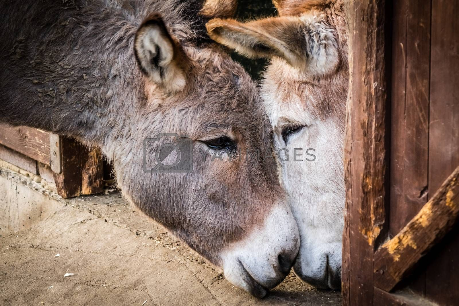 Two donkeys cuddling to each other in a barn on a farm