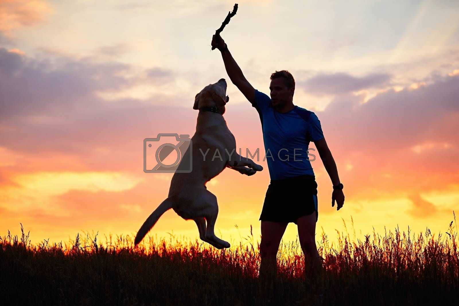 Man with stick is training and educating of the dog. Young man is playing with labrador retriever on the meadow during golden sunset.