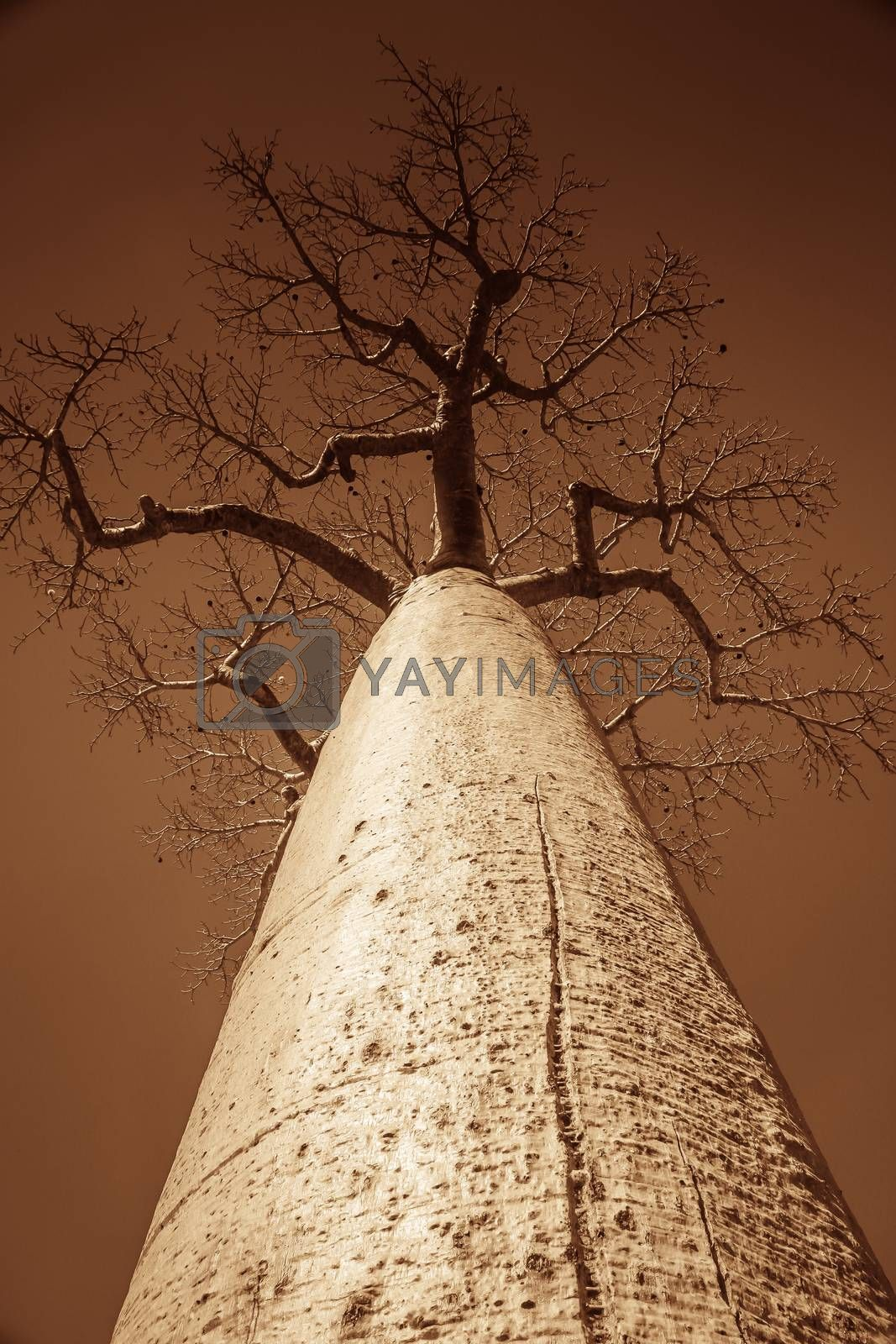 Royalty free image of Single huge baobab by pawopa3336