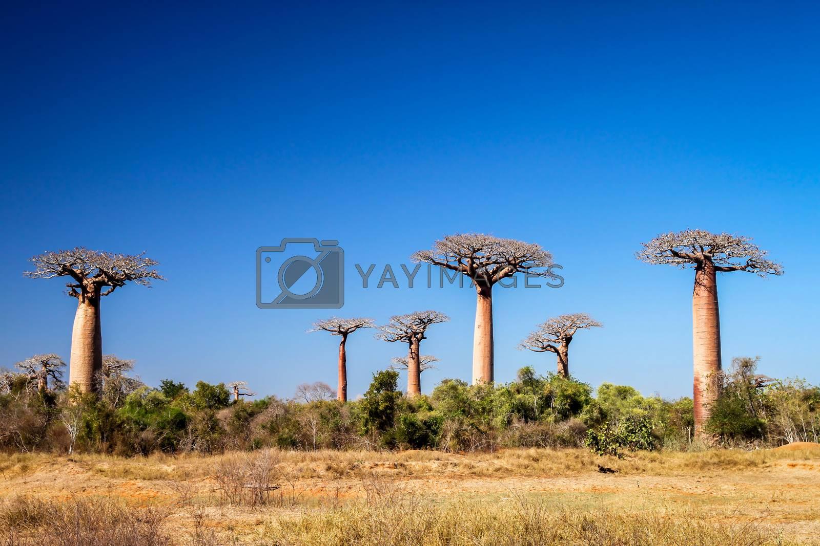 Group of baobabs near Morondava in Madagascar