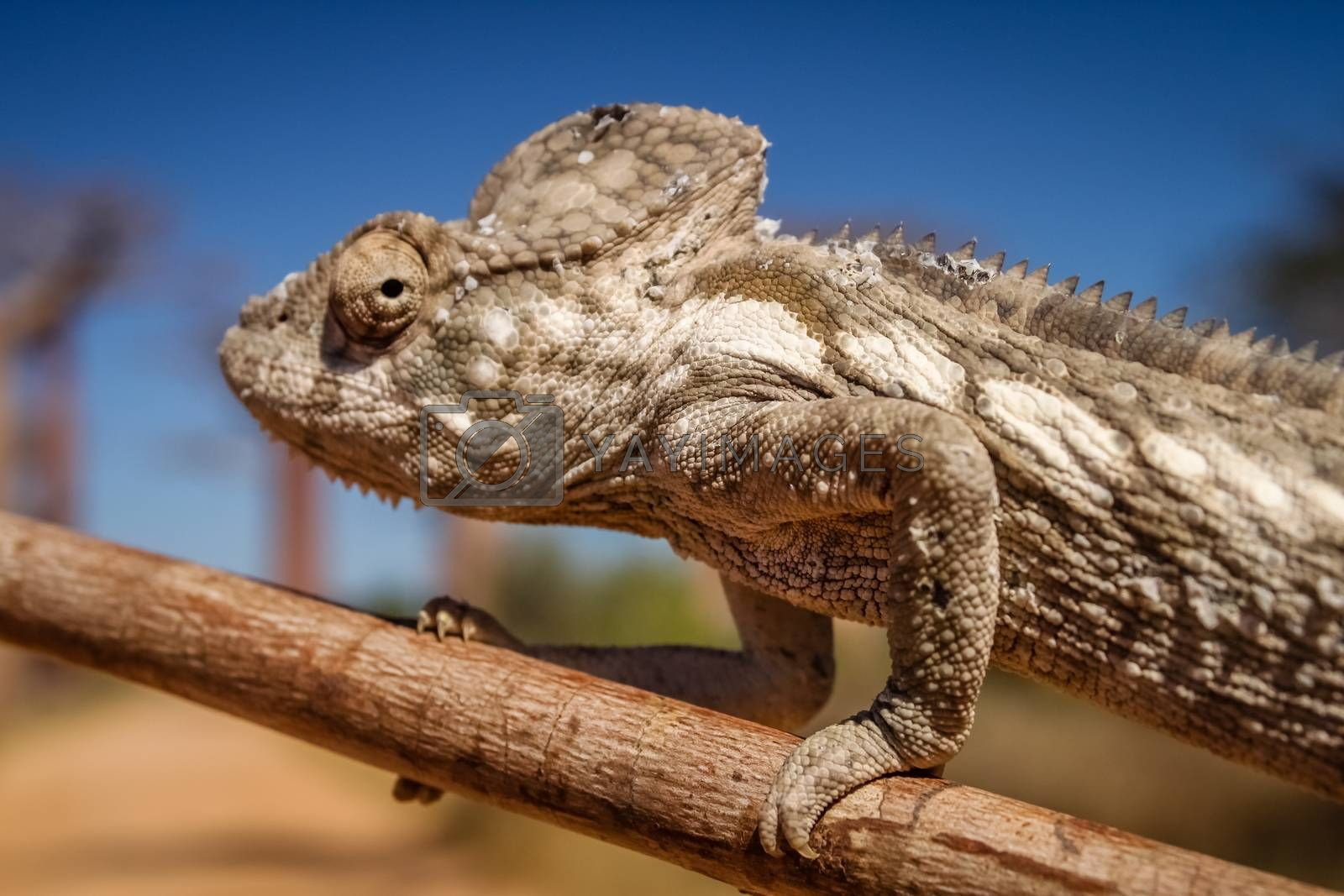 Royalty free image of Chameleon and baobabs by pawopa3336