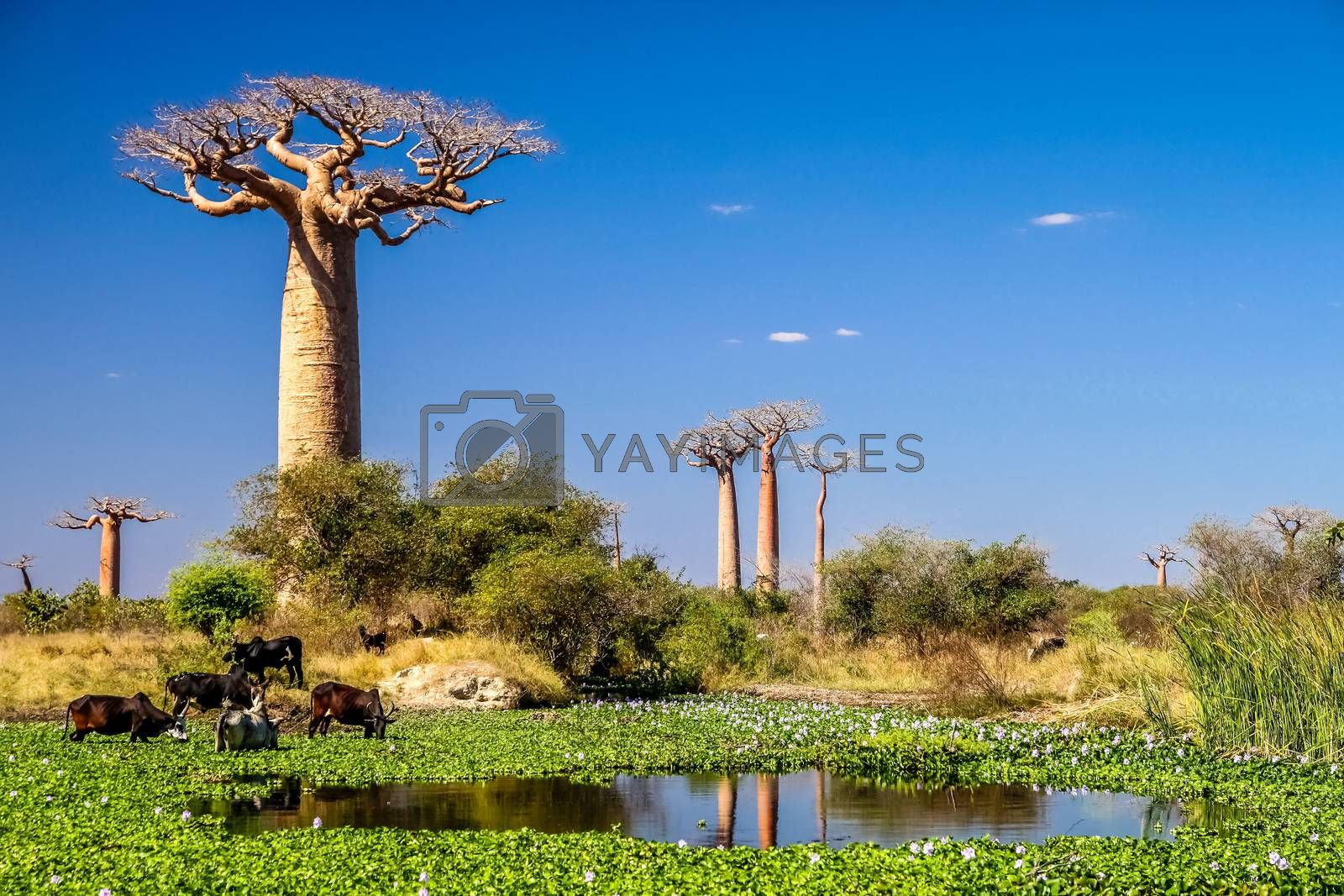 Small lake in front of the baobab tree