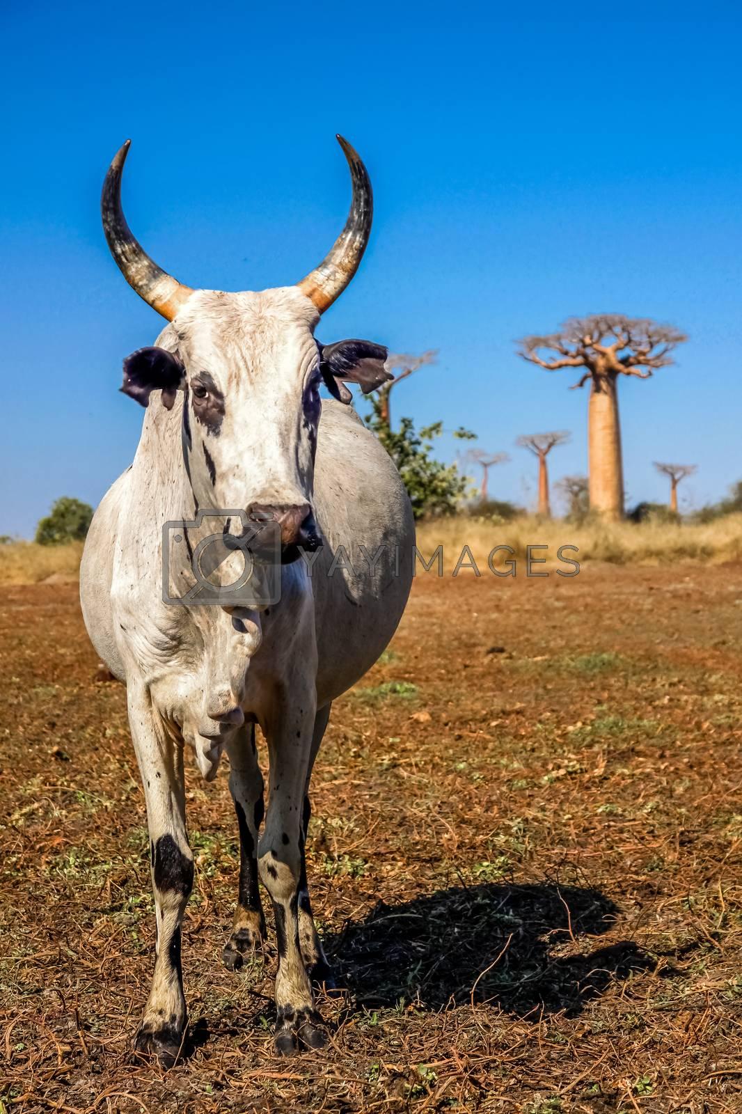 White zebu among the baobab trees in Madagascar