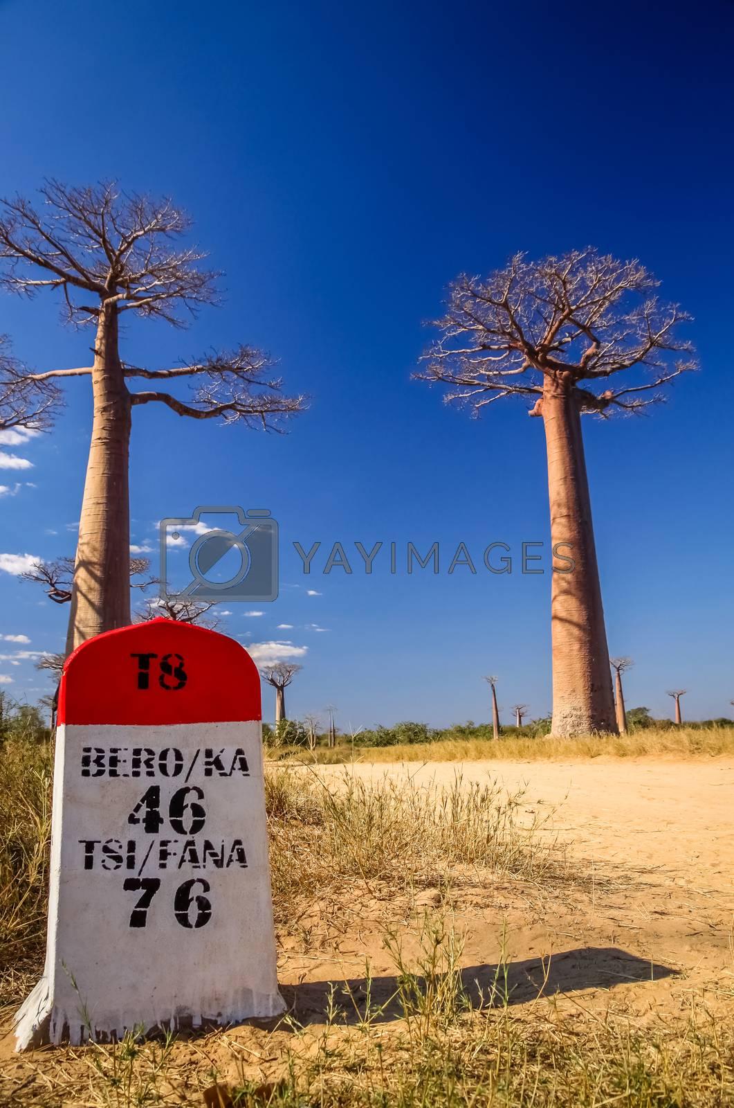 Royalty free image of Baobab road by pawopa3336