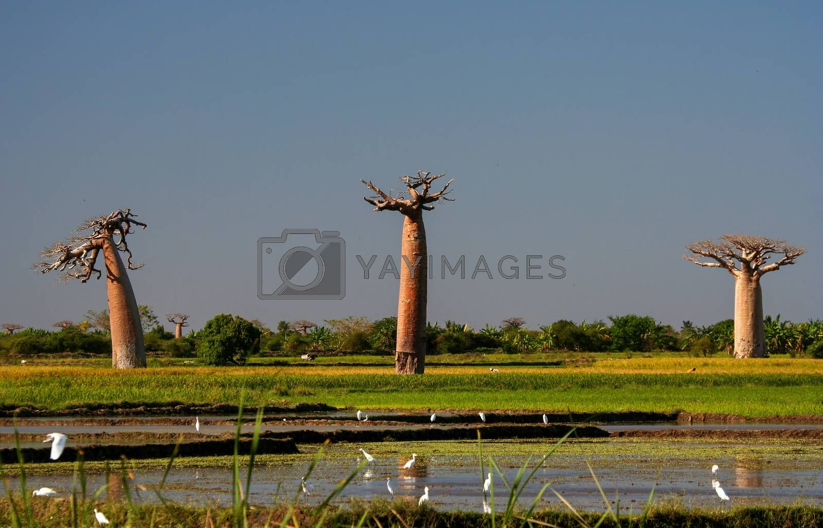 Royalty free image of Wetlands and baobabs by pawopa3336