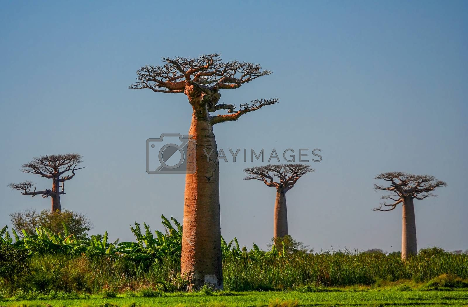 Baobabs by pawopa3336