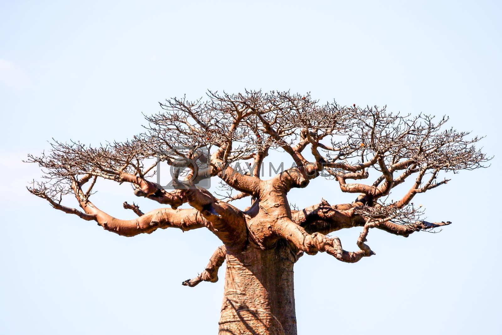 One of the huge baobabs in the Avenida de Baobab in Madagascar