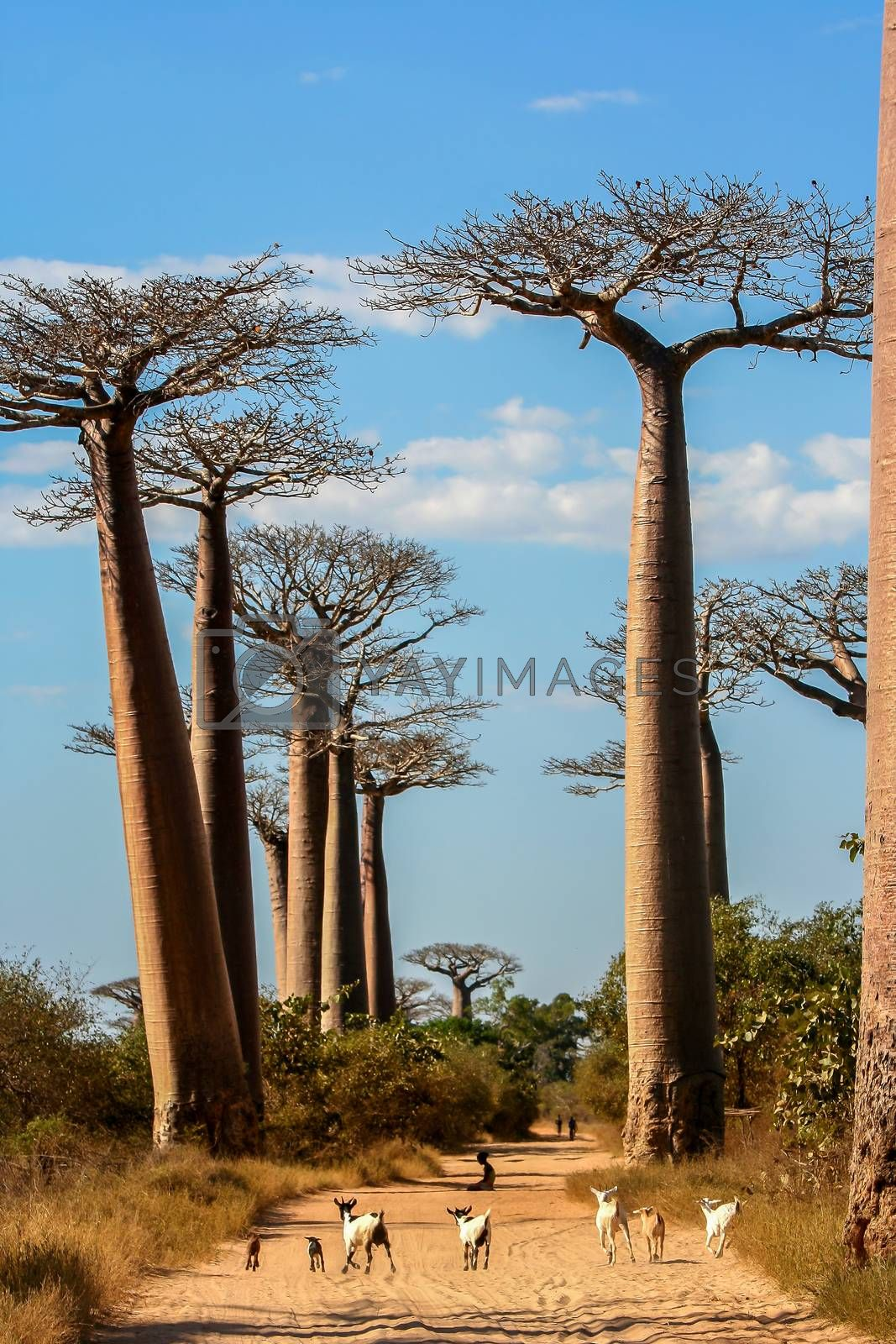 Royalty free image of Avenida de Baobab by pawopa3336