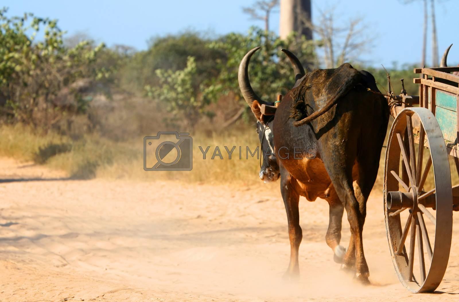 Zebu cart on the sandy road going through the Avenida the Baobab near Morondava in Madagascar