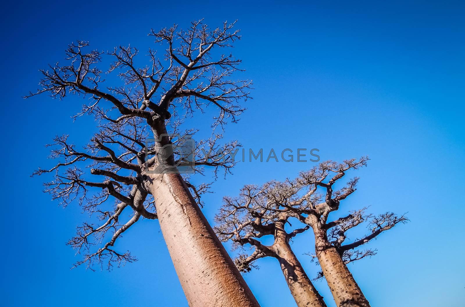 Huge baobabs in the Avenida de Baobab in Madagascar