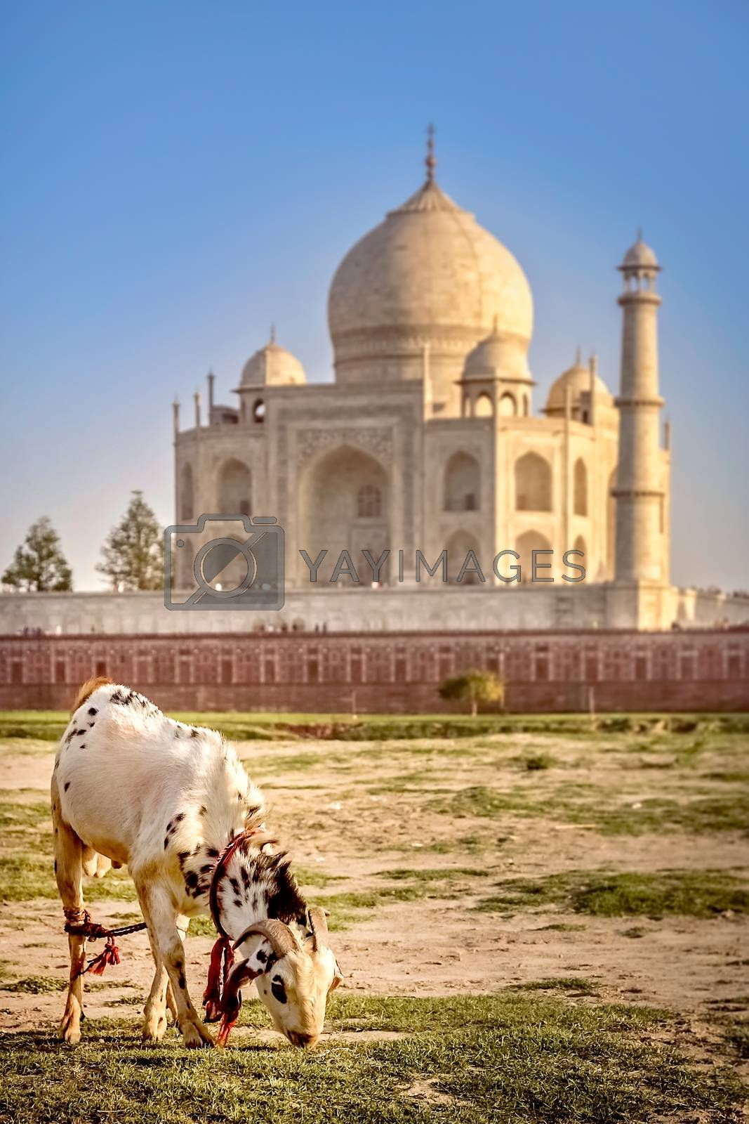 Goat grazing on the riverbank with Taj Mahal in the background