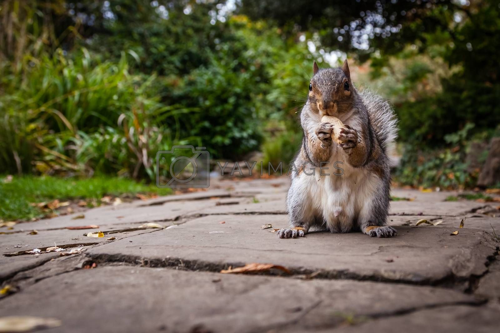 Close up of a grey squirrel eating a nut