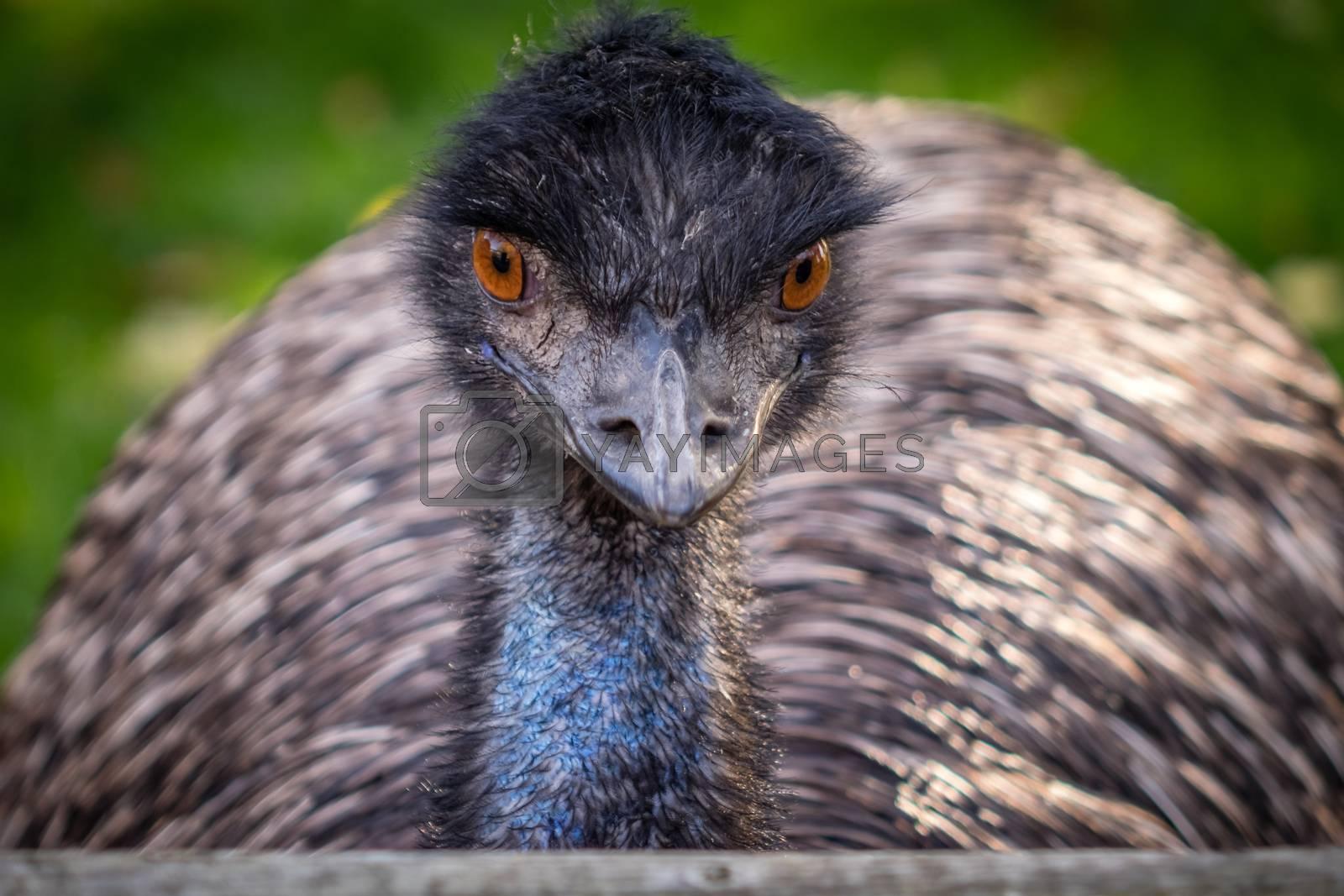 Closeup portrait of a large Emu (Dromaius novaehollandiae) bird
