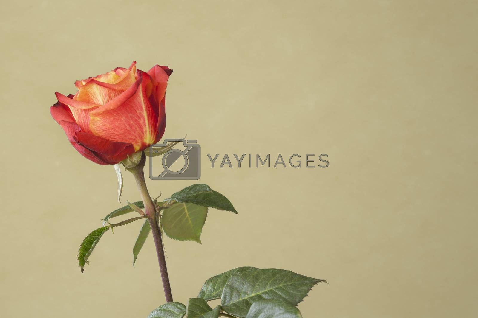 red rose by magann