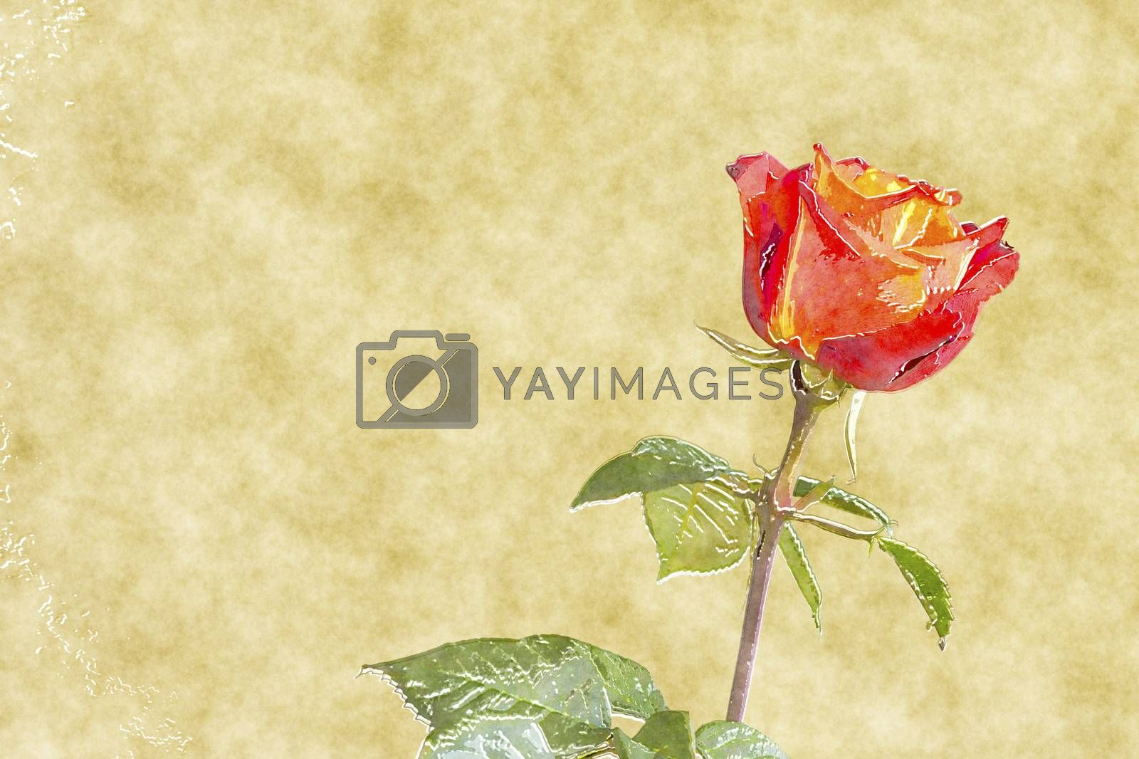 red rose water color by magann