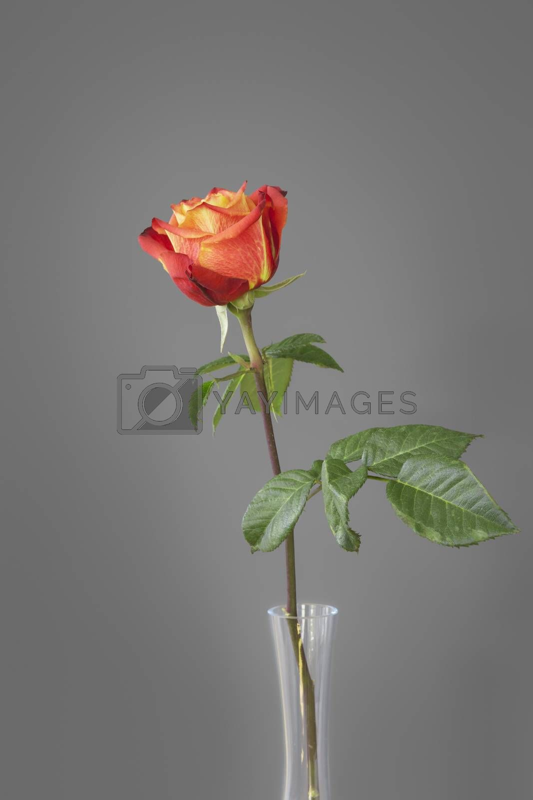 red rose in front of a gray wall by magann