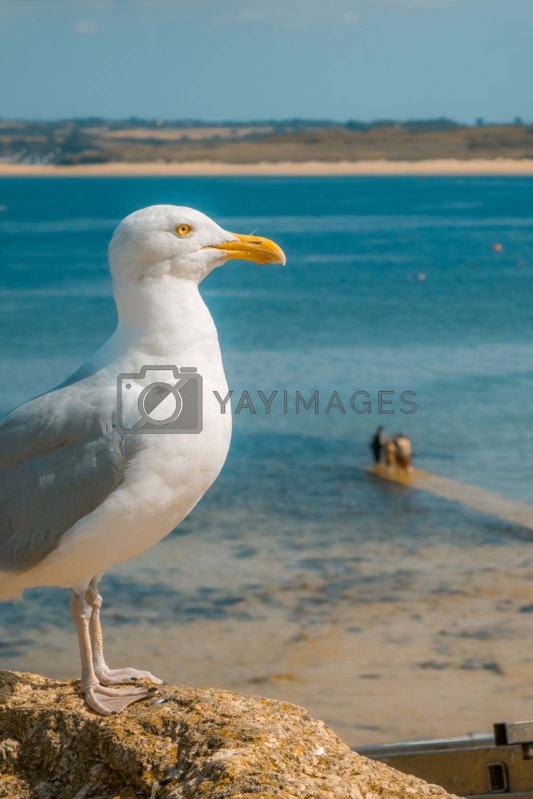 Seagull sitting on a rock and admiring sea view