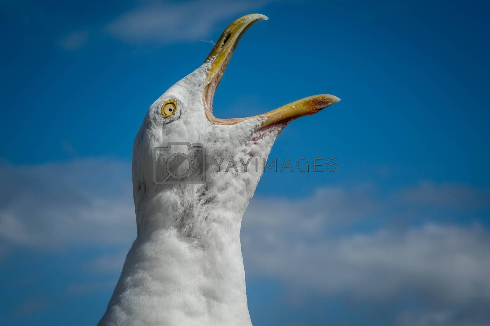 Close up of a face of a screaming seagull