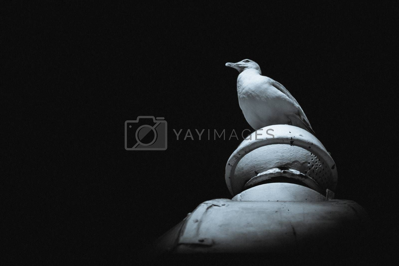 Seagull sitting on the top of a building, black and white portrait