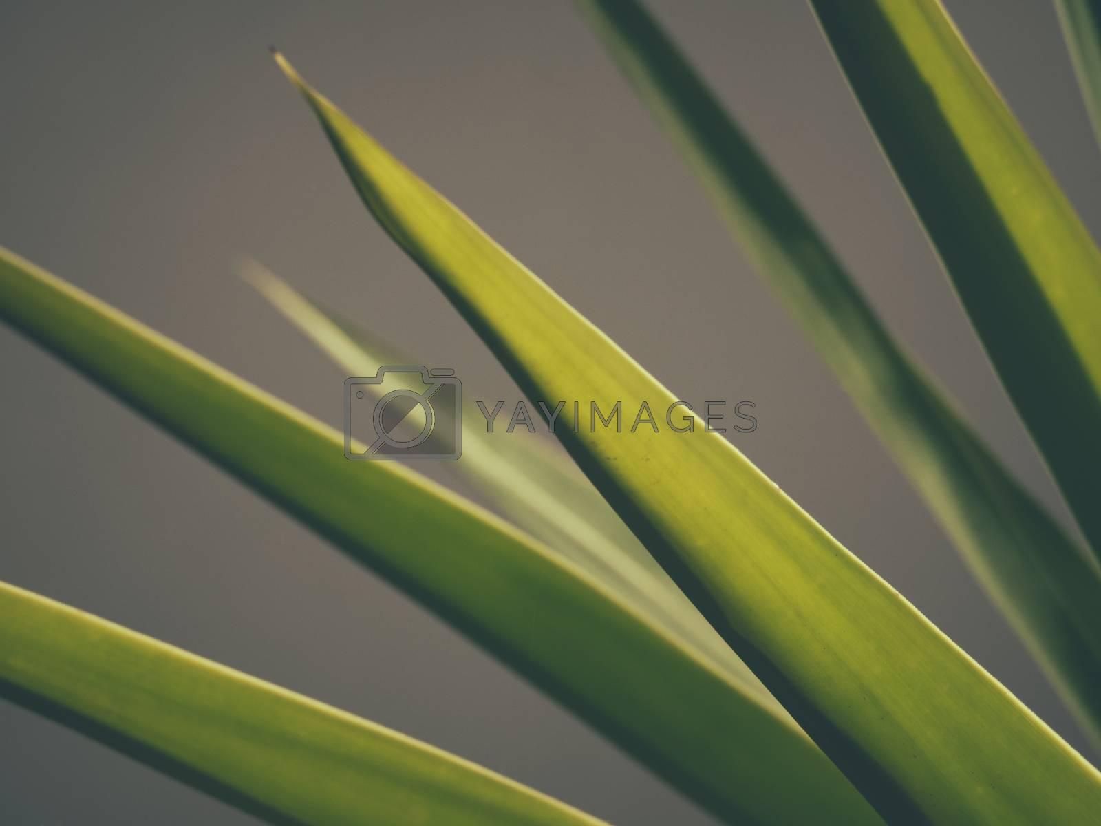 Detail of a tropical Dracaena marginata flower