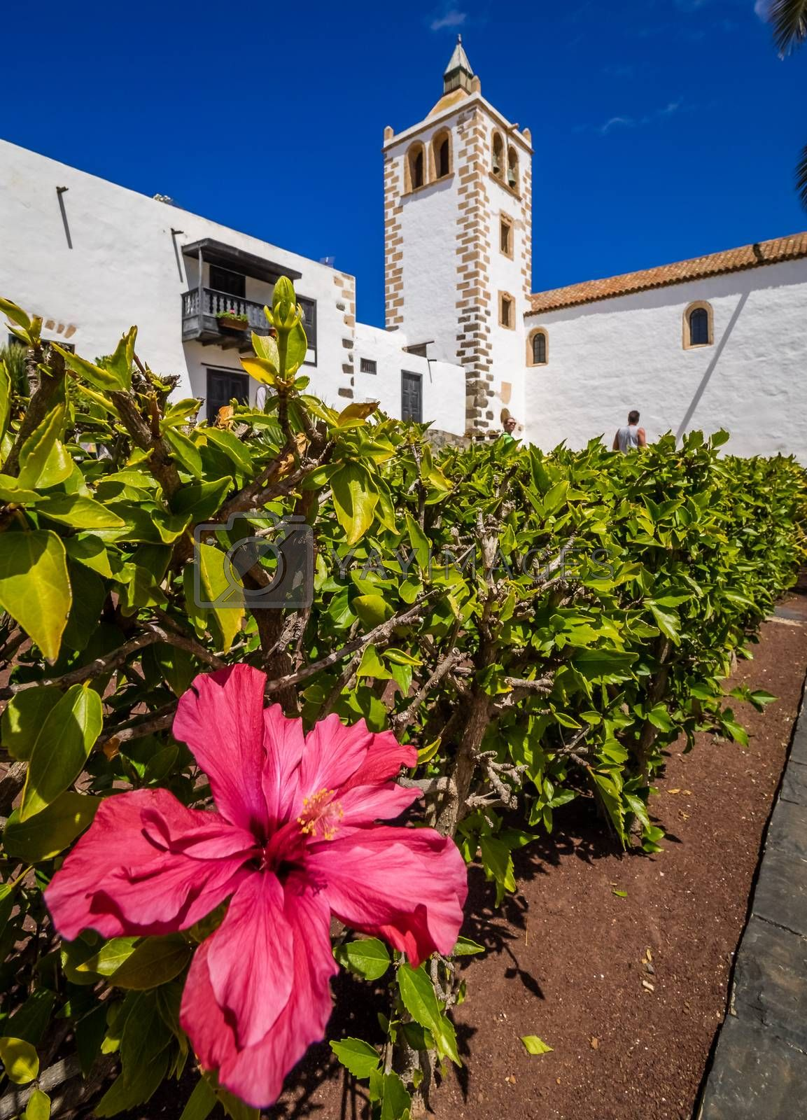 Purple flowers in front of the Cathedral of St. Mary in Betancuria, an old capital of Fuerteventura, Canary islands, Spain