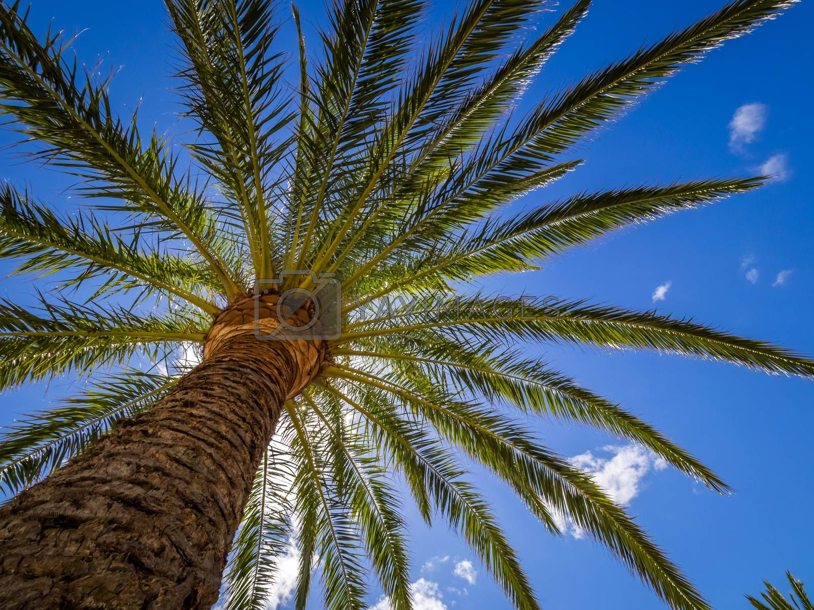 Tall tropical palmtree with the blue sky in the background