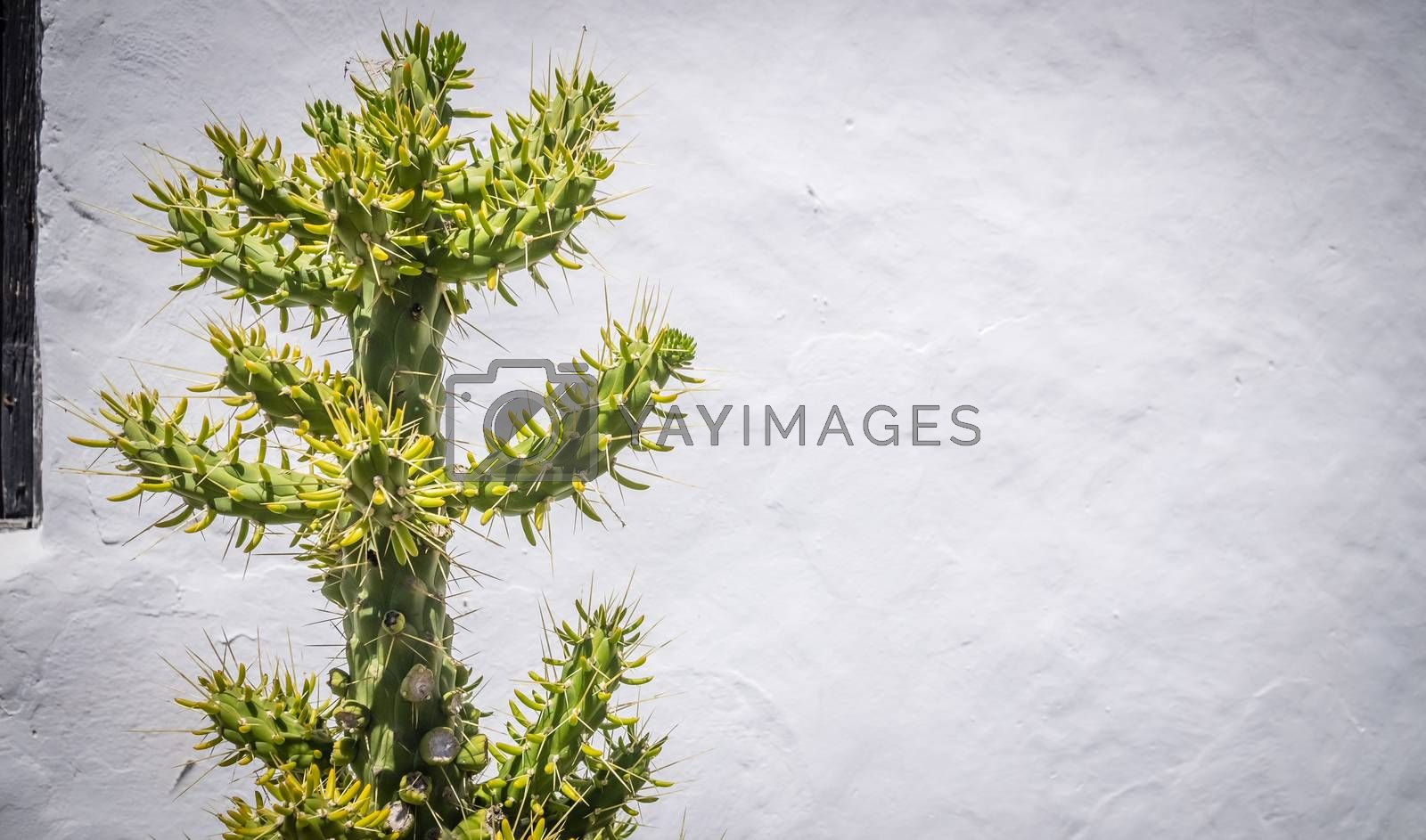 Large tree - like cactus photographed in Fuerteventura, Canary Islands, Spain