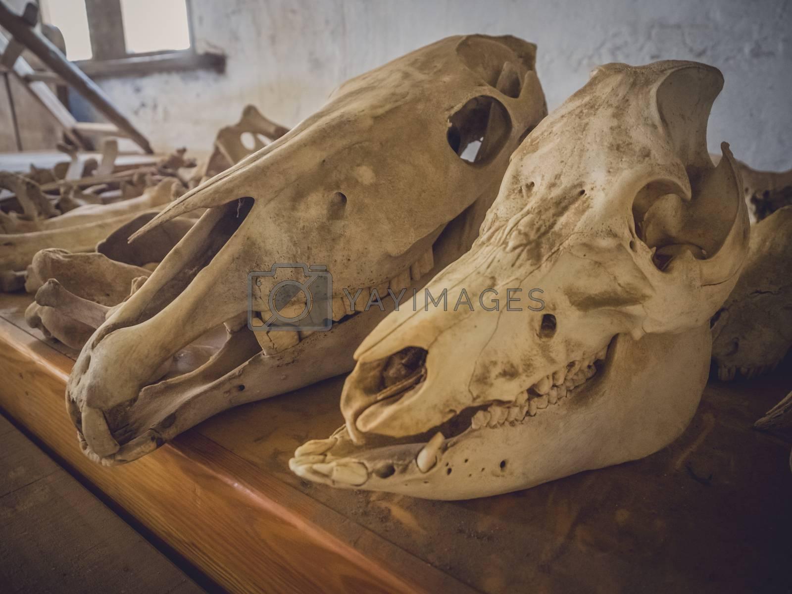 Farm animal skulls in an old barn, Fuerteventura, Spain