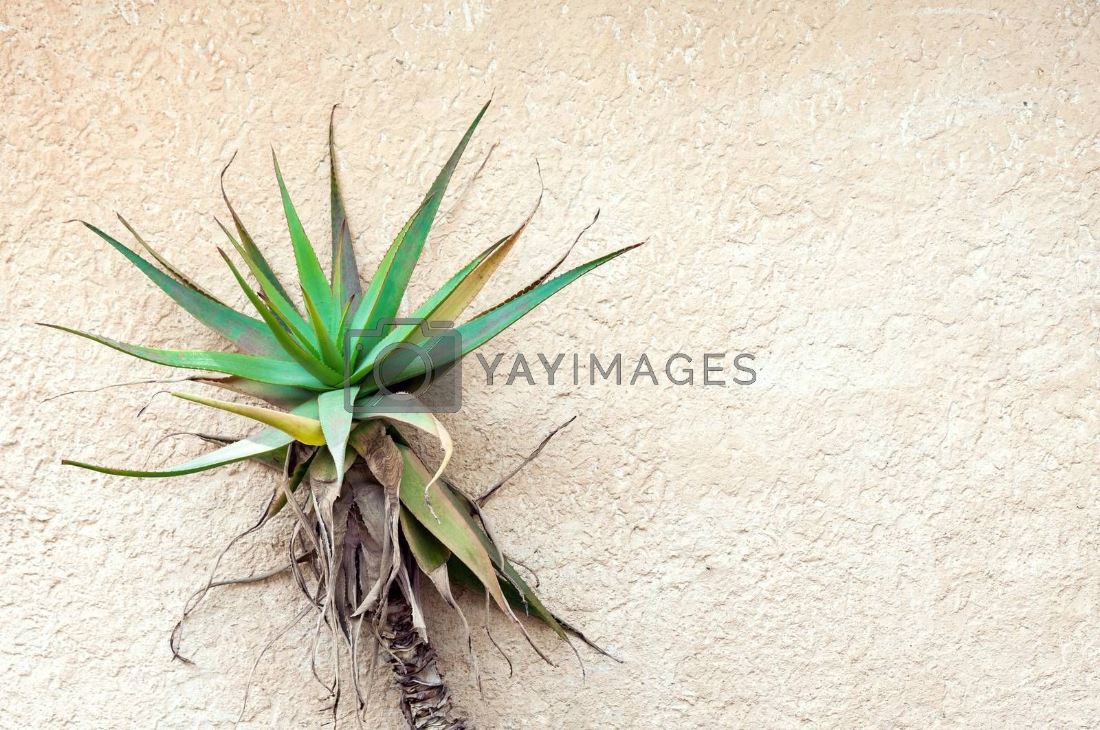 Tropical plant growing against concrete wall. Plenty of copy space on the right