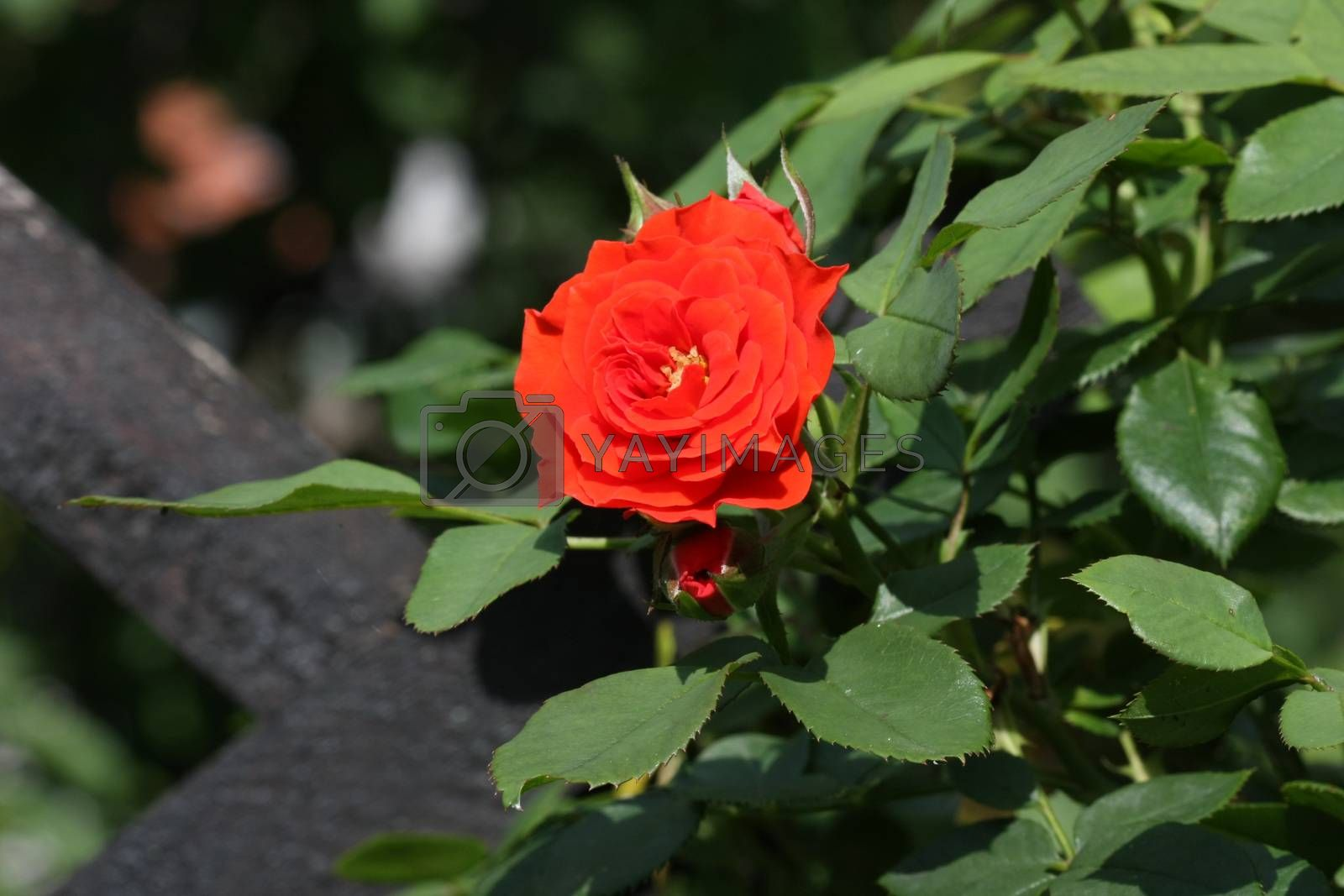 Close up of red rose and buds in the  garden