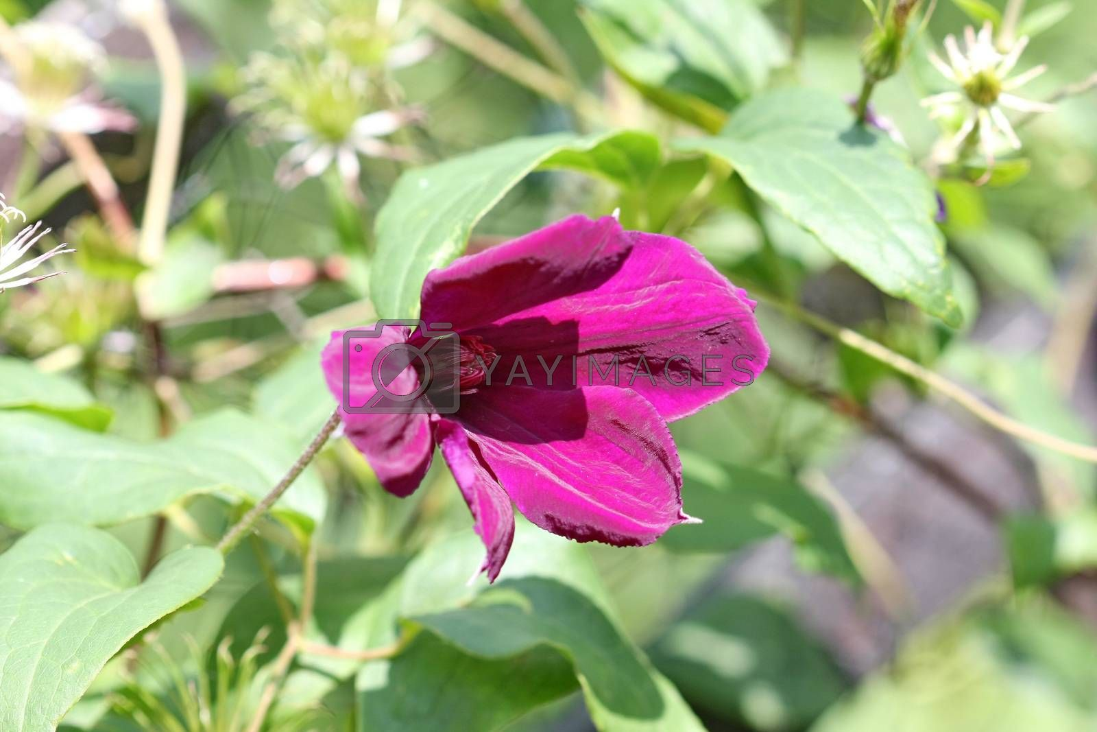 Close up of purple clematis flower