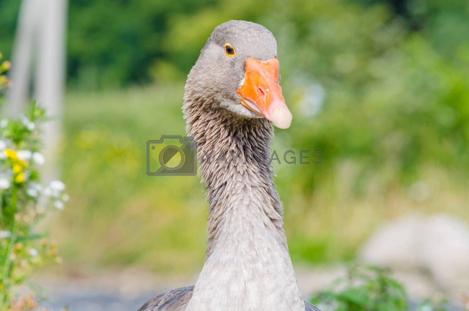 Closeup Gray Goose   by JFsPic