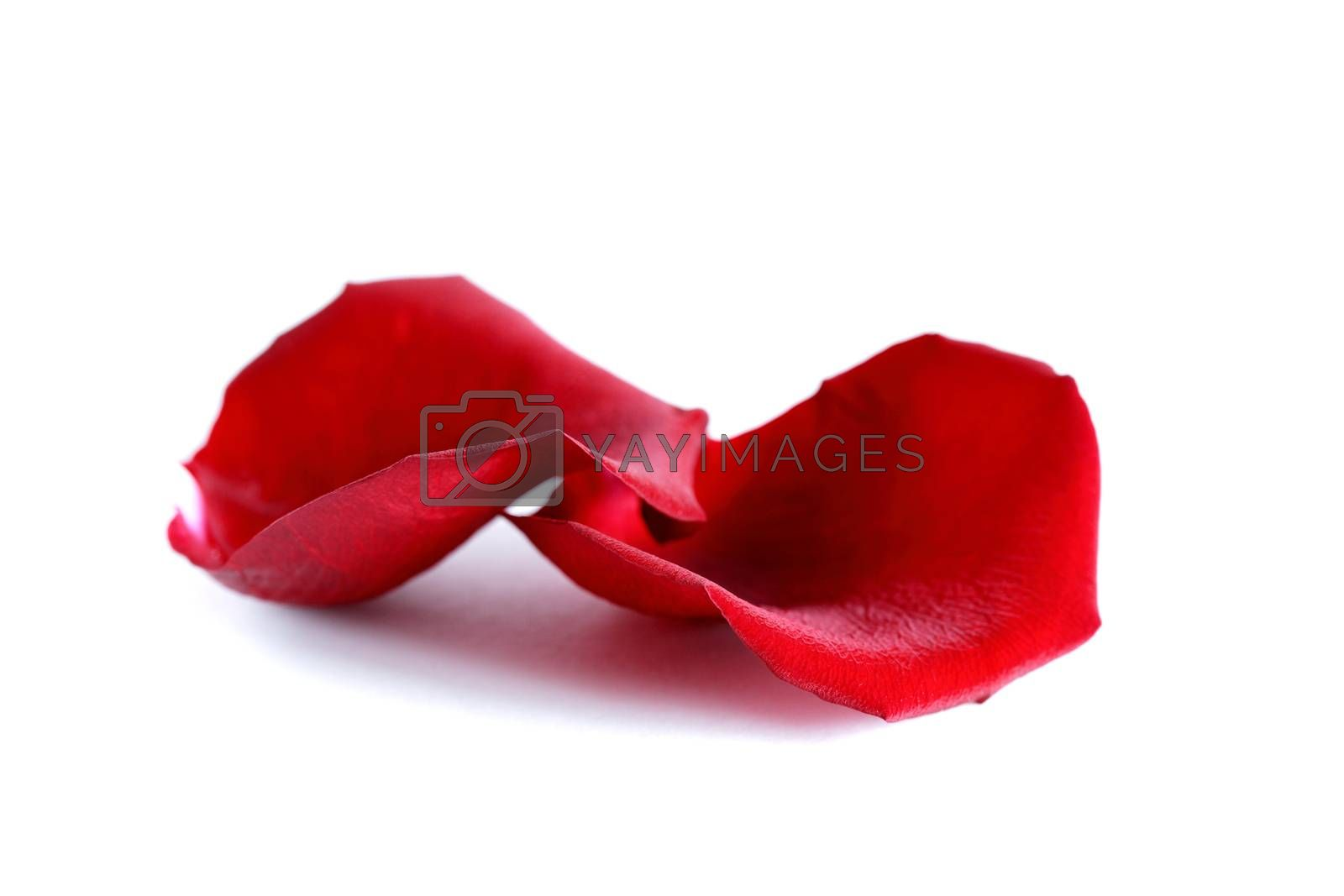 Romance concept. Pair of red rose petals on white background