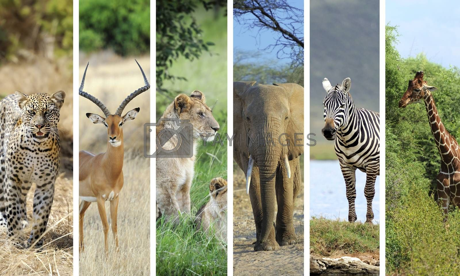 Collage with photo african animals