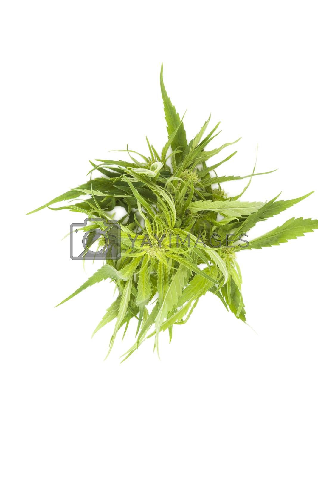 Cannabis background with copy space. Buds and leaves on white background, top view.