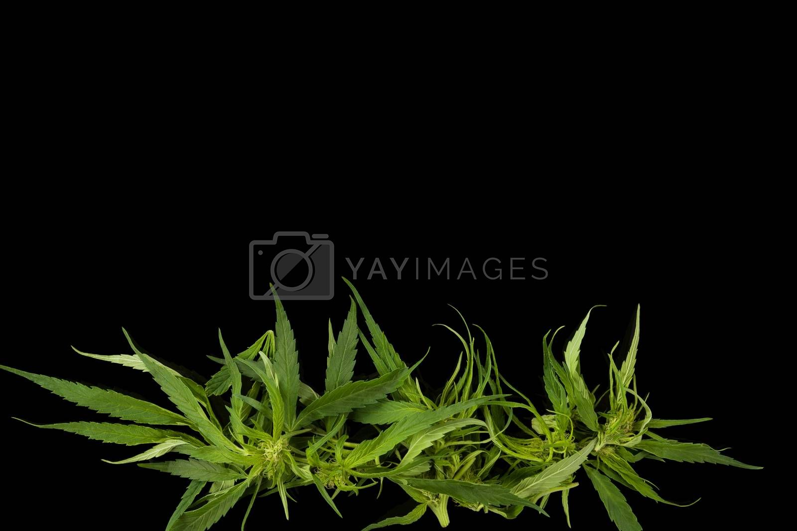 Cannabis background with copy space. Marijuana leaves and buds on black background top view. Alternative medicine.