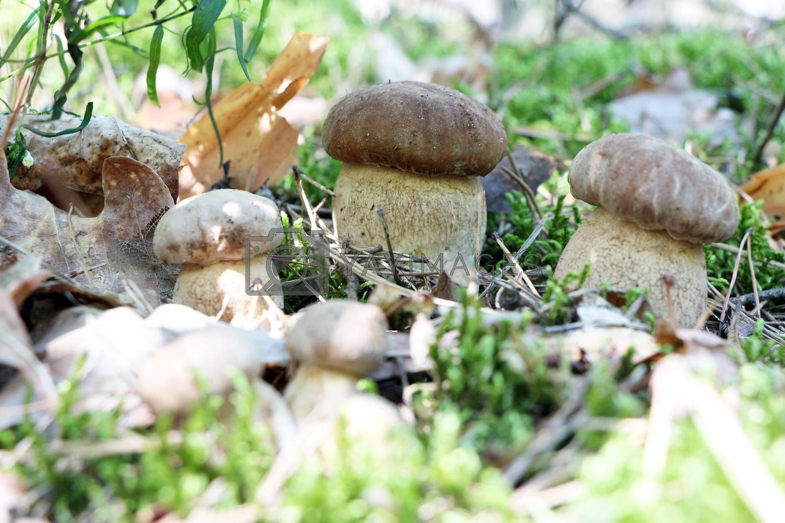 Many little ceps grow in the deciduous forest, close-up photo