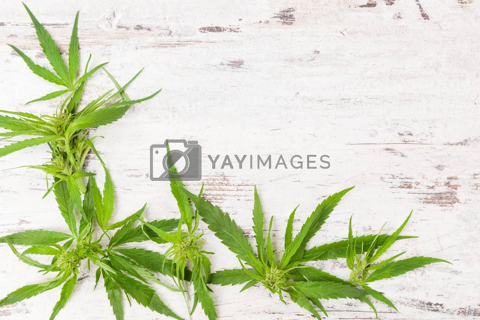 Cannabis with copy space. Buds and leaves on white wooden rustic table. Medical marijuana, alternative medicine.