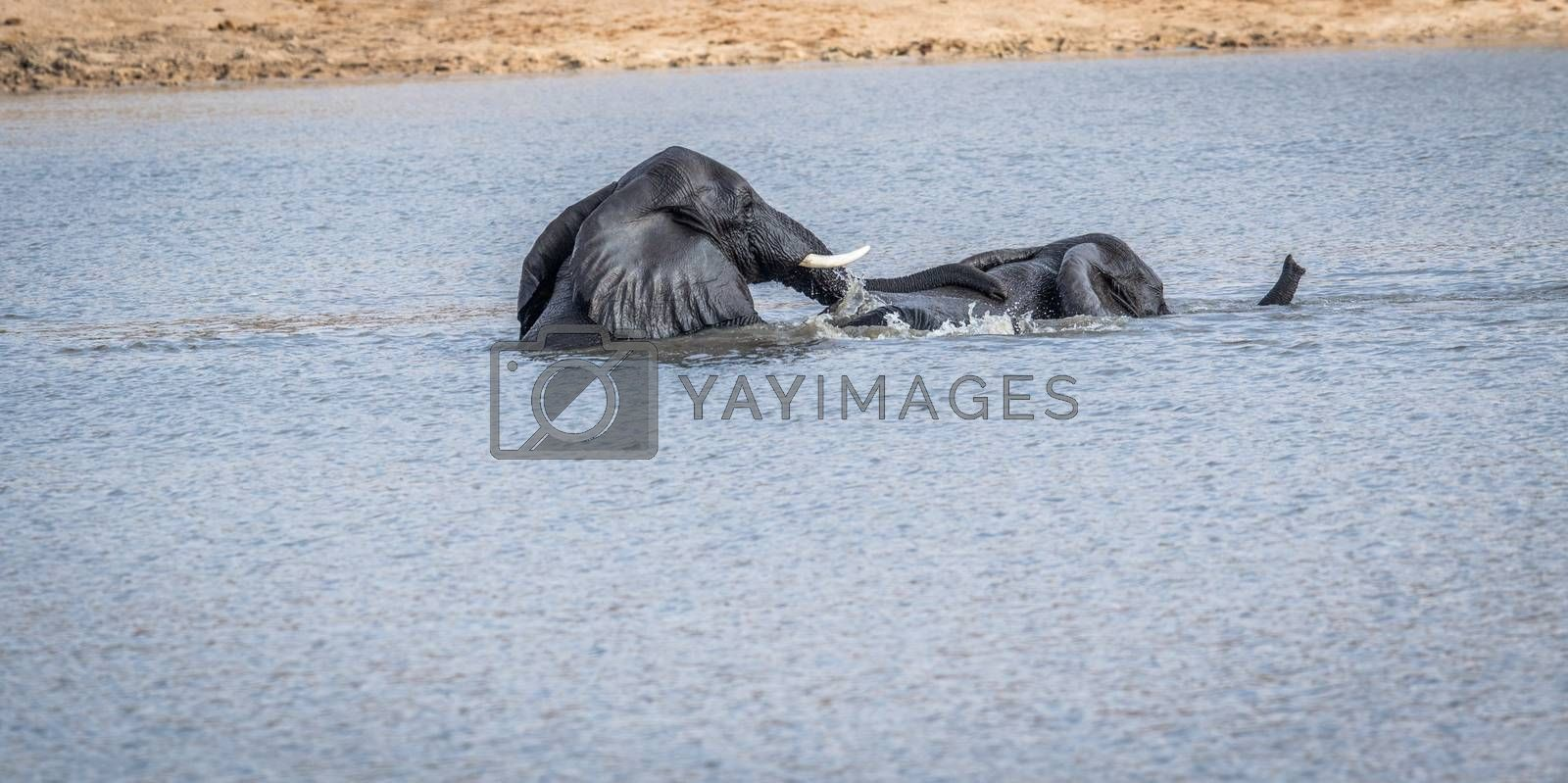 Two Elephants playing in the water in the Kruger National Park, South Africa.
