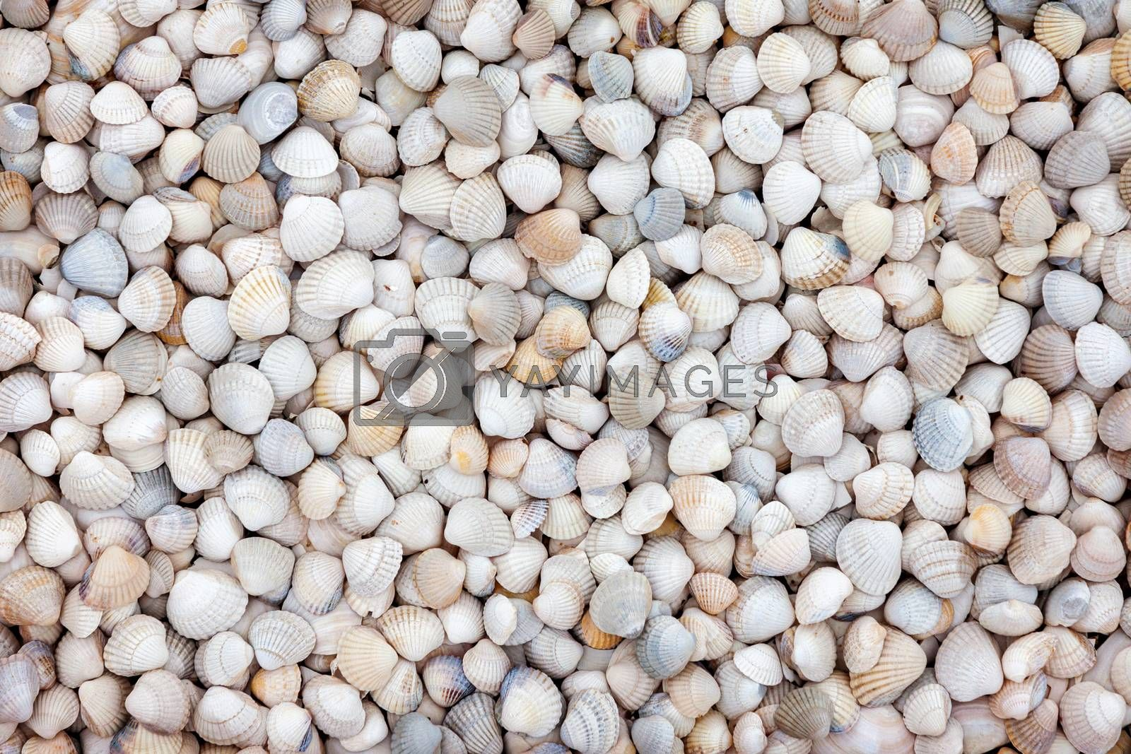 Natural background of small white sea shells