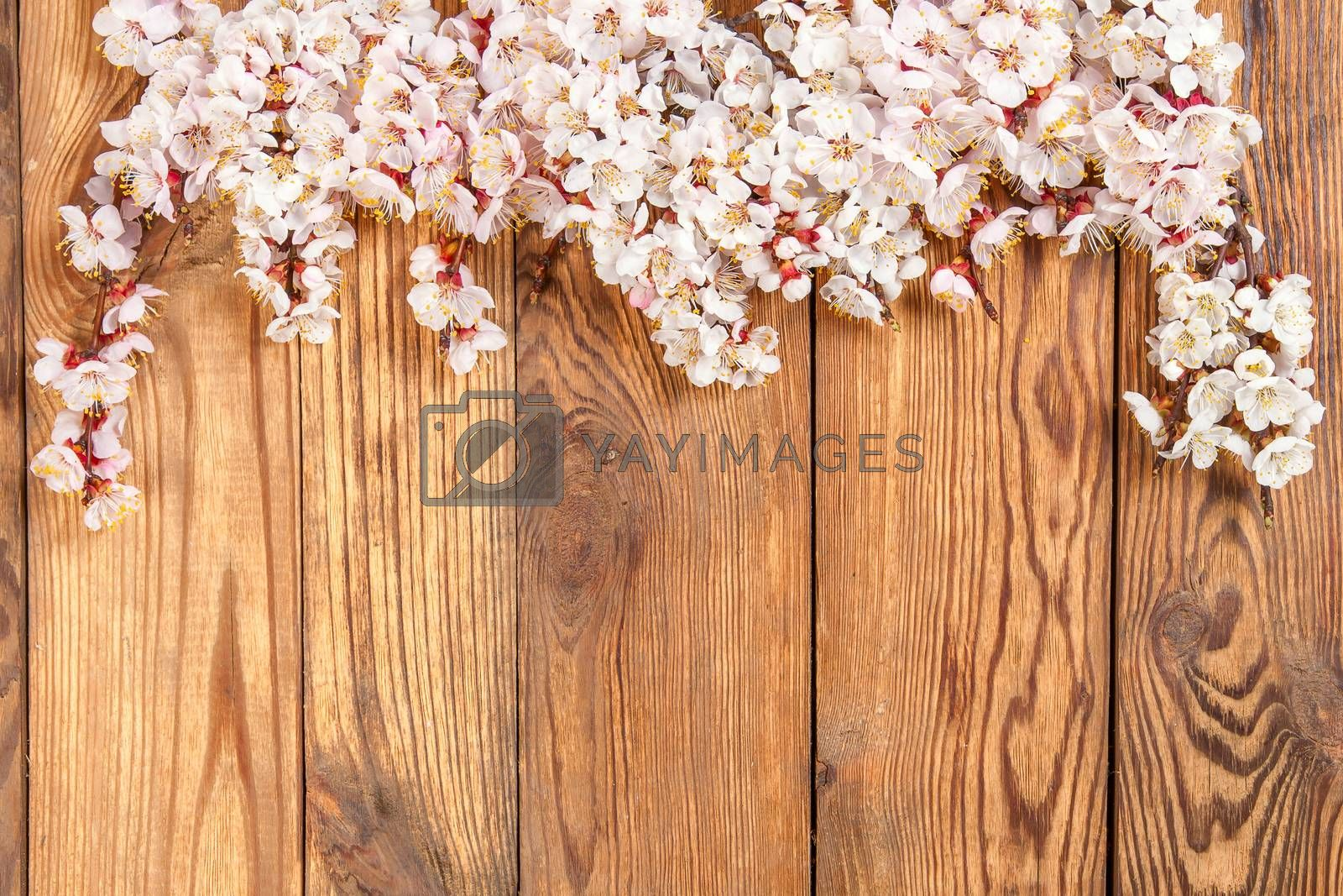 Branch with flowers of an apricot on wood board, for design and your text