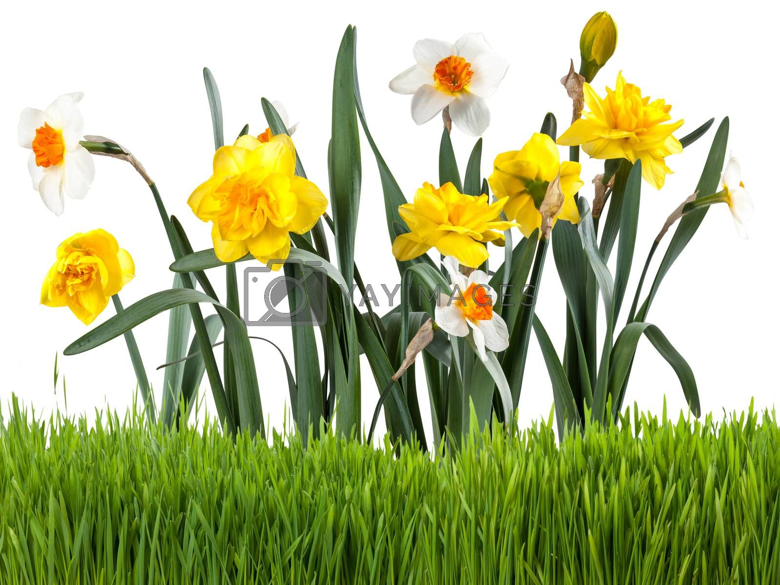 Beautiful narcissus with green grass isolated on white background