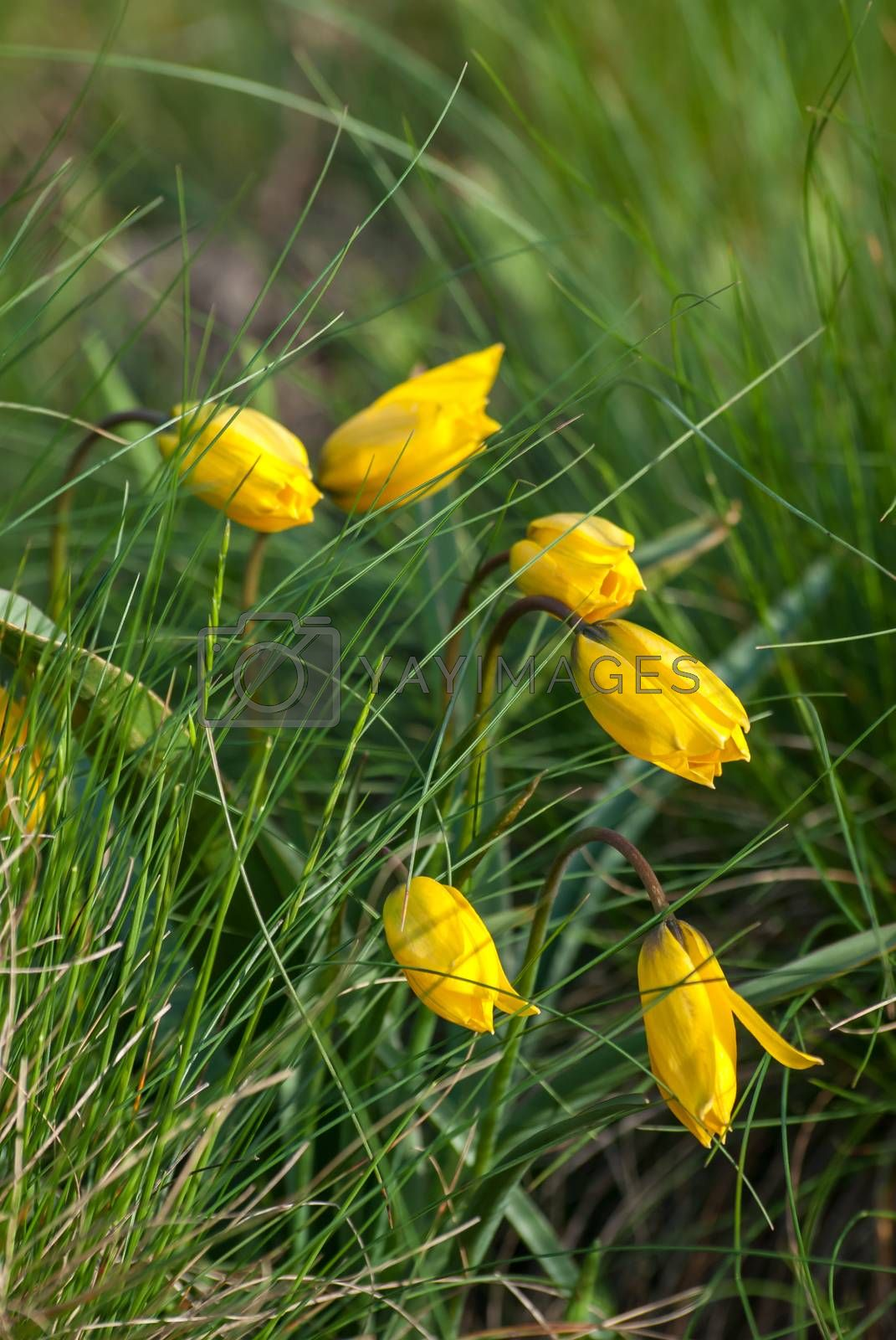 Wild yellow tulips flower in grass on meadow, outdoor