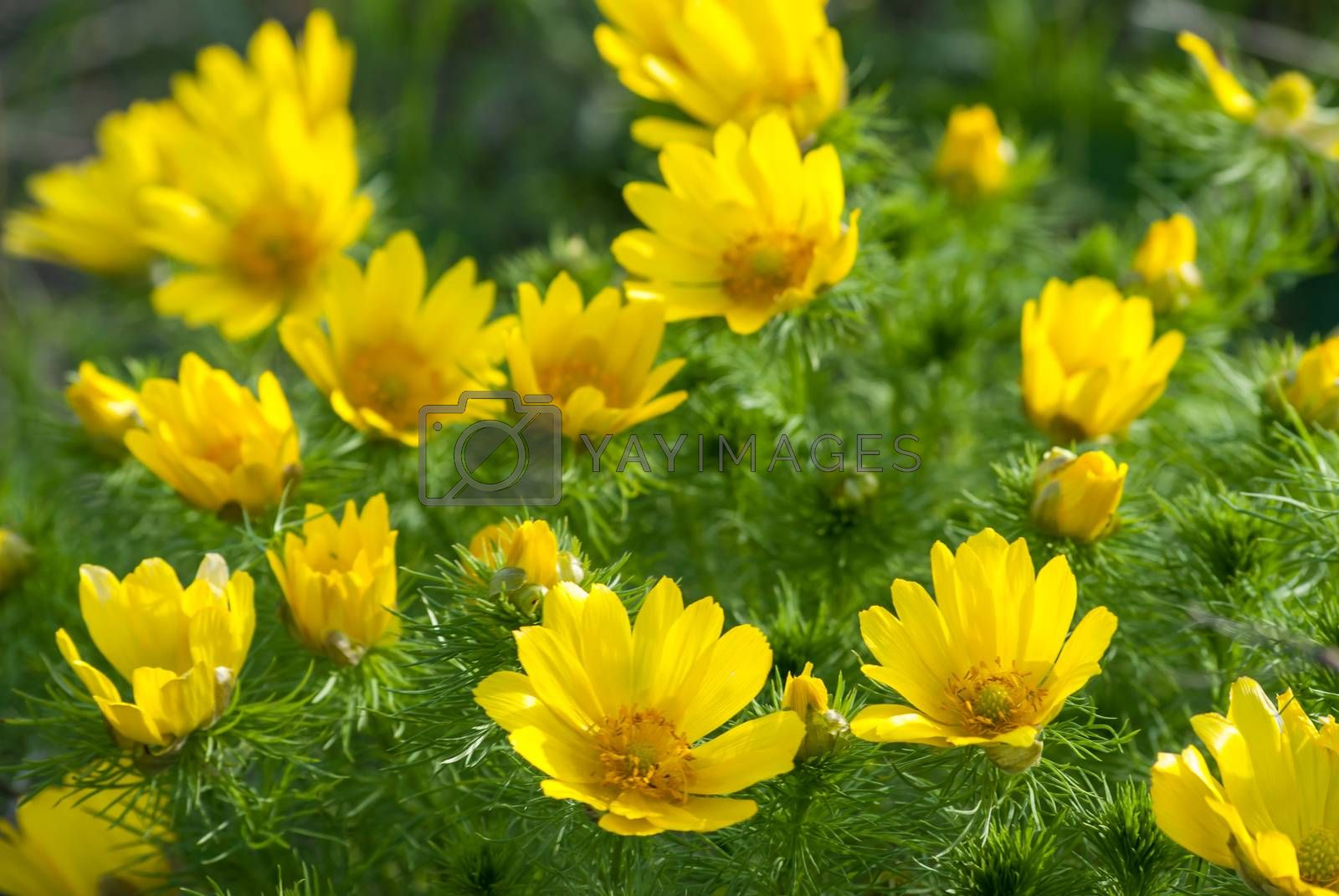 Yellow flowers bushes Adonis meadow on a sunny day