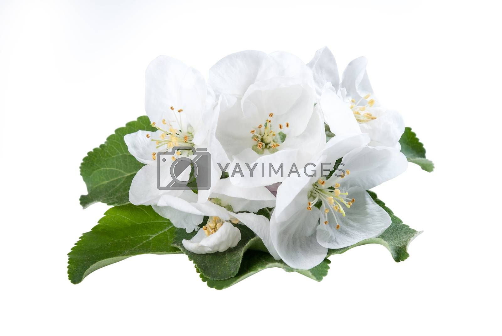 Apples flower with green leaves isolated on a white background